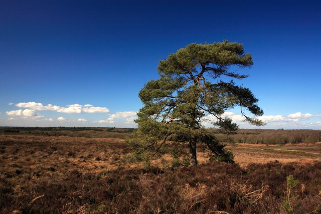 Pine tree at Handy Cross Plain, New Forest