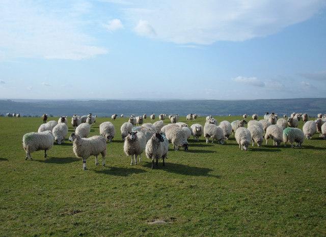Sheep Pasture, Weston Moor