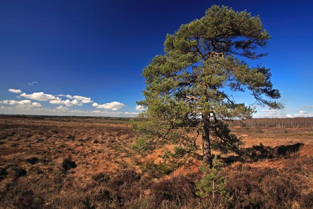 Pine tree at Handy Cross Plain, New Forest 2