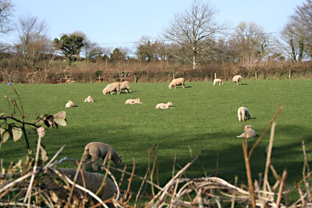 Sheep and Lambs behind the Hedge