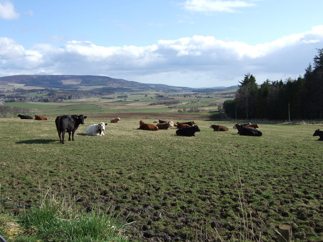 Cows at rest