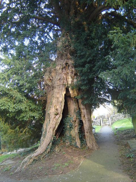 Yew tree, St David's Churchyard, Llanddewi Rhydderch