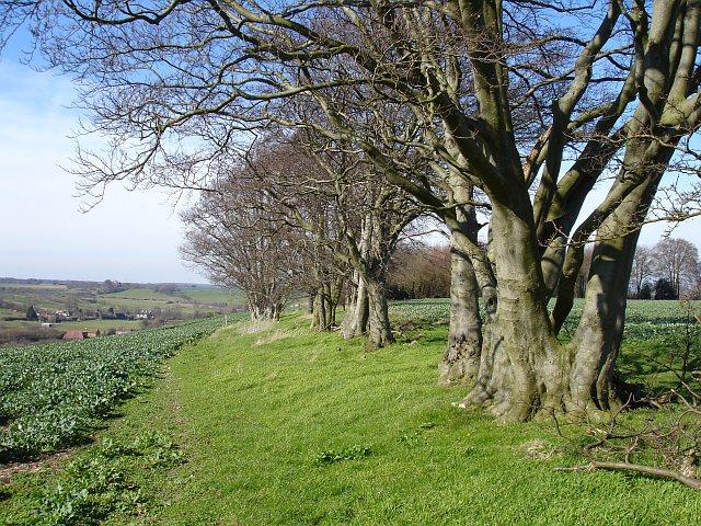 Overgrown beech hedge on Deans Hill
