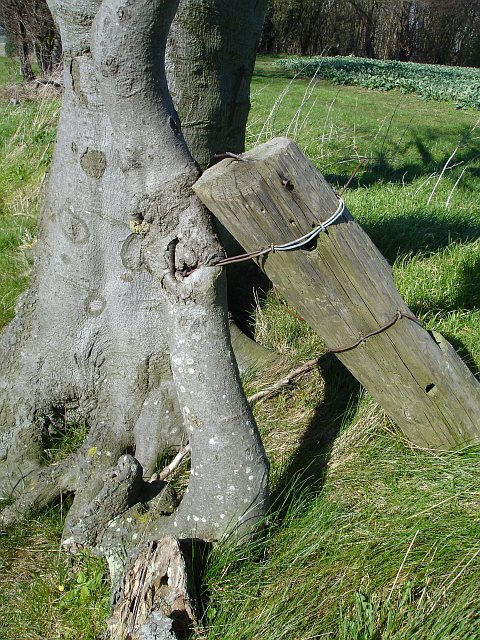 Fence wire grown into beech tree