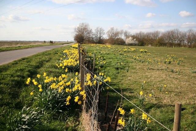 Daffodils at Poplar Farm