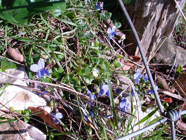 Violets on the edge of Frid Wood