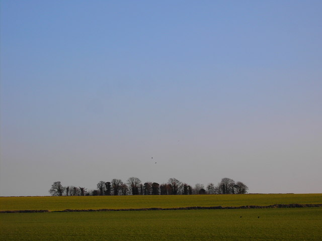 Trees and rooks near Oakes Lane, Badminton, Glos