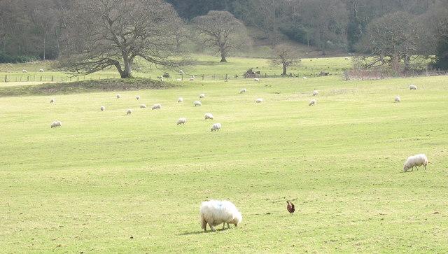 Sheep and pheasant