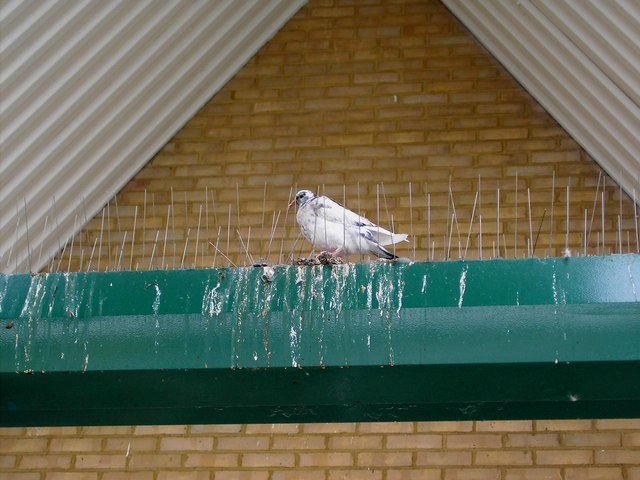 Pigeon, Morrison's, Thames Avenue, Swindon