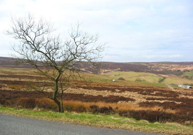 Stunted tree in moorland