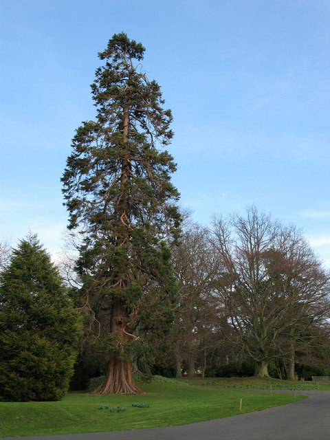 Giant Redwood, Ford Castle