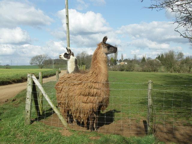 Unexpected Livestock.