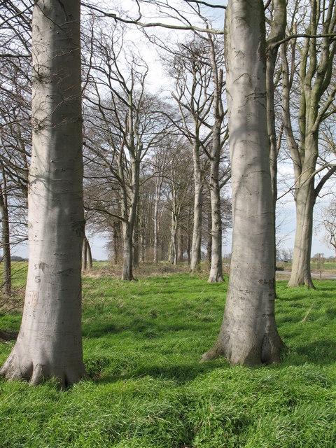 Beech Plantation near Myton.