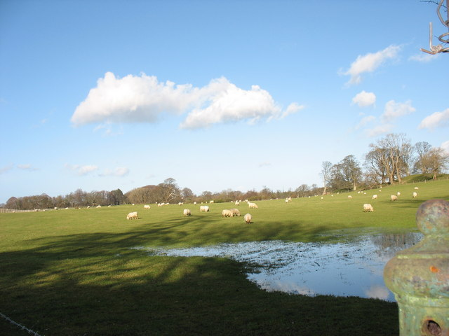 Grazing sheep on parkland behind Bryntirion