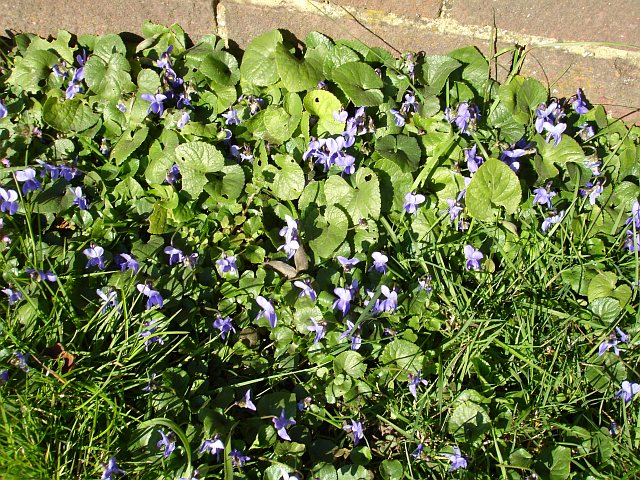 Violets in Oad Street