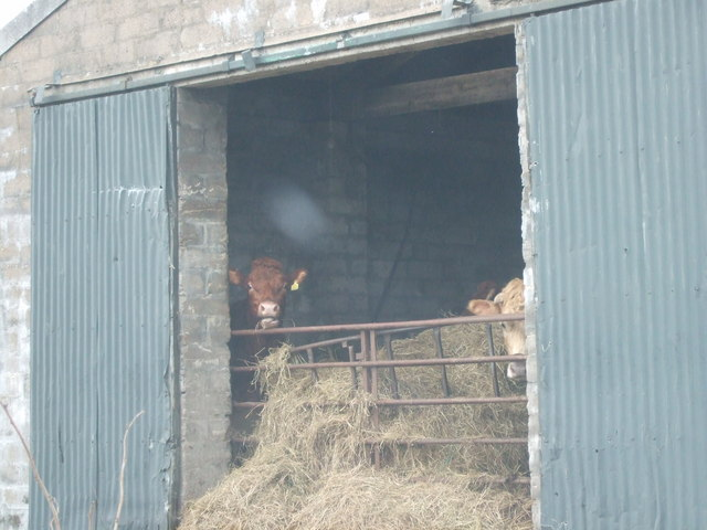 Cows in a byre at Candyglirach croft
