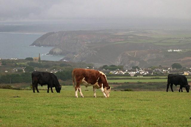 Cattle on St Agnes Beacon