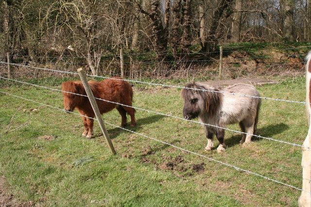 Miniature horses, Old Basing, Hampshire