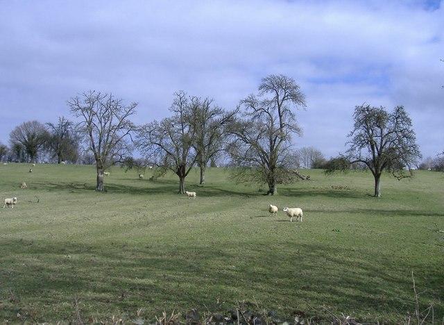 Sheep, near Blanchworth