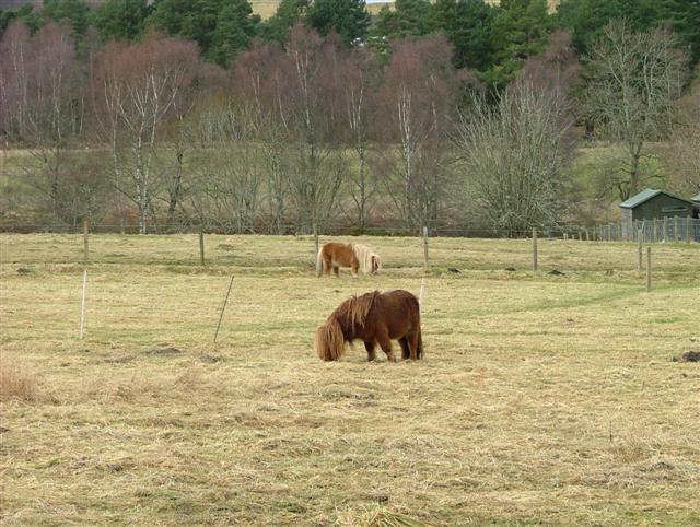 Grazing Ponies