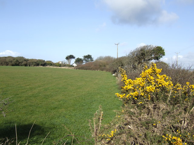 Gorse in bloom at Meaver
