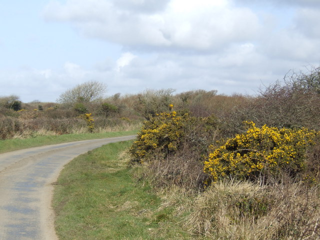 Gorse by the laneside