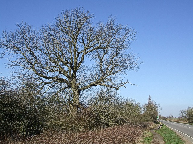 Watling Street Tree