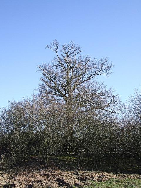 Verge, hedge and tree