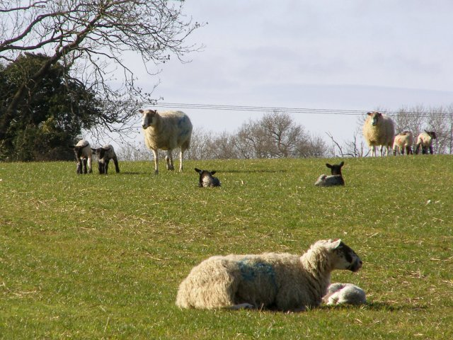 Sheep and lambs, north of Silkstead Manor Farm