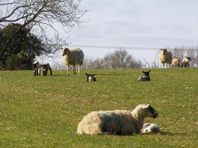 Sheep and lambs, north of Silkstead Manor Farm