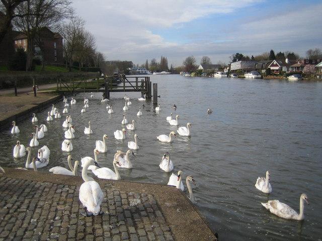 River Thames: The swans at Walton-on-Thames