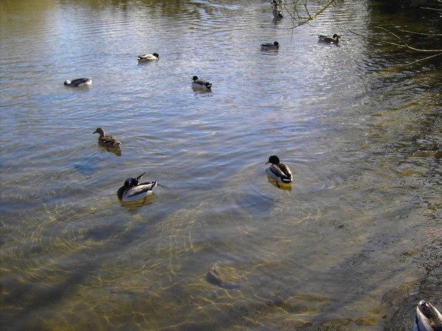 Ducks on the pond, Bishopstone, Swindon
