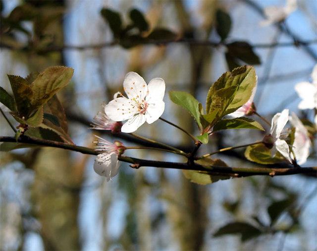 Myrobalan Plum Blossom