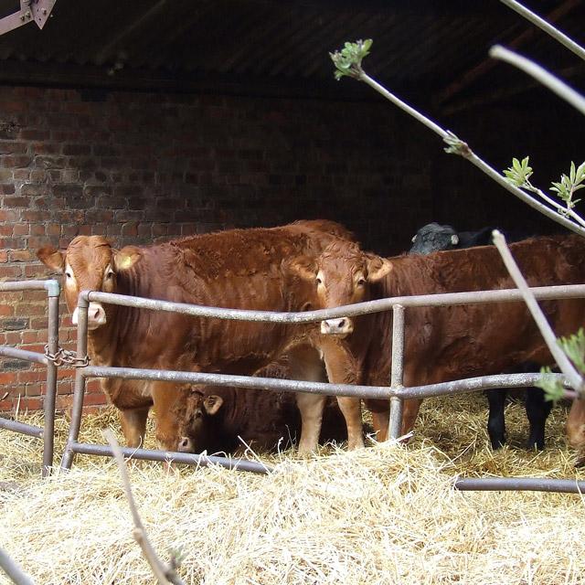 Cattle at Salters Park Farm, near Bobbington, Staffordshire