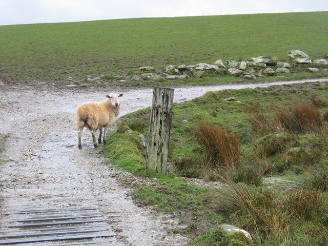 Lost sheep on farm track.