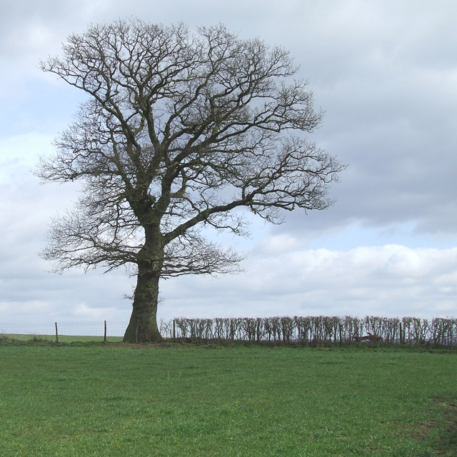 Grazing Land with Oak Tree, Staffordshire