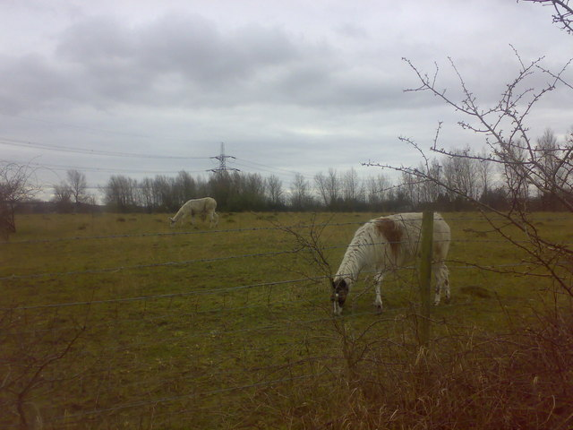 A pair of llamas grazing with sheep
