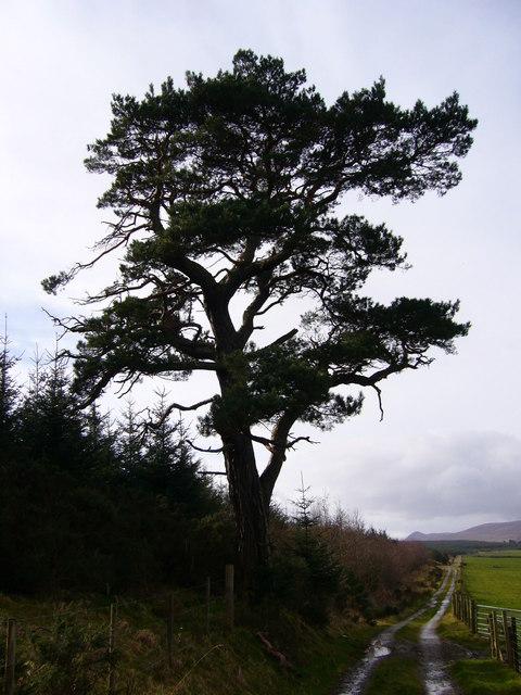 Scots pine near Corriefoulis