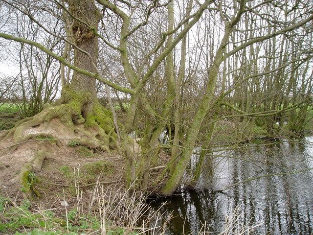 Tree and island near Mere Cheshire