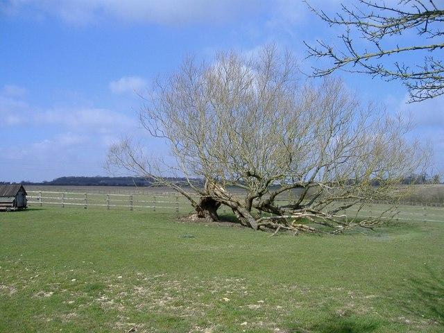 Tree survivor.