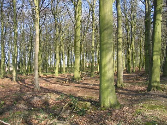 Culpits Plantation north of Hindolveston