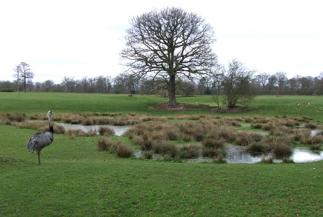 Pond, Meadow, Oak Tree and Rhea!! Mere Hall, Staffordshire