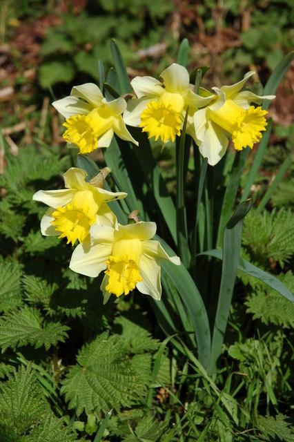 Wild daffodils near Redmarley D'Abitot