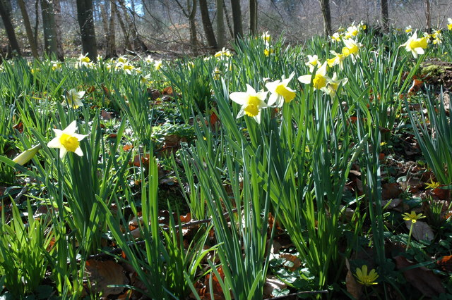 Wild daffodils in Ryton Coppice