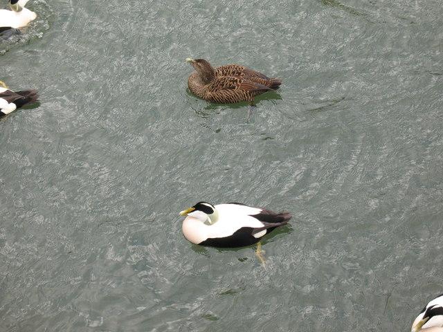 Cuddy Ducks - Amble Harbour