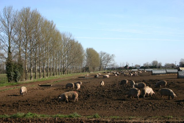 Pig Farm at Mildenhall Fen