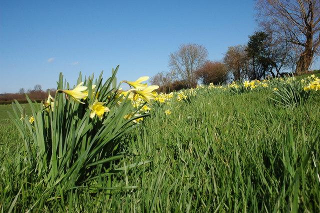 Wild daffodils near Ryton