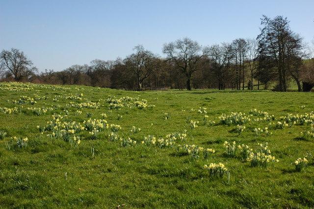 Wild daffodils beside the river Leadon