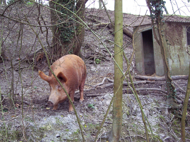 Tamworth Pig near Tidpit