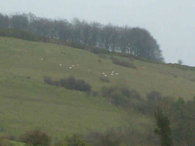 Downland Sheep